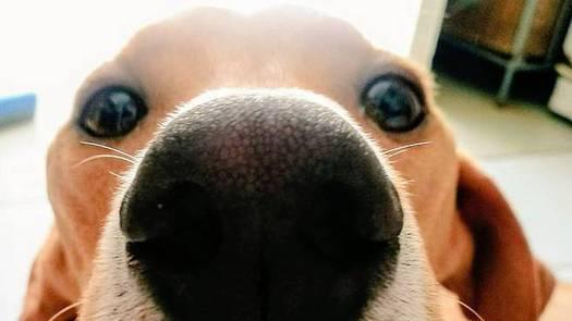 Entrenan a perros para olfatear a personas contagiadas con Covid-19